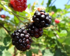 TCL releases three new Blackberries