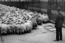 Coppers blur lamb pictures to protect ID